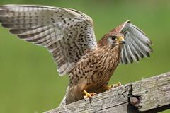 Kestrel (robin denton) Tags: bird nature wildlife yorkshire falcon kestrel birdofprey falcotinnunculus rspb staidans