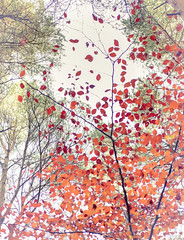 Autumn Elements II (shawn~white) Tags: fujifilmxt10 nature beech dreamy enchanting hardwood highkey leaves nostalgia red softlight tree trees trippy woodland woods ©shawnwhite