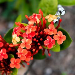 Buds Burst, Flowers Flourish and Fade (armct) Tags: ixora plant genus cultivar orange subtropical tropical garden stages buds burst flowers flourish fade waxy colour color prickly
