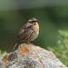 Rufous-breasted Accentor (Prunella strophiata)