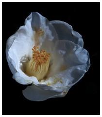 """ELEGANCE""(Camelia) #photooftheday #photography #pentaxkx #flowers #colors #macrophotography #macro #camelia #saffsunset #galiciavisión #galicia #vilagarciadearousa #galiciapasion #galiciamaxica #galeoska #queverengalicia #vga_viva #VisitaOSalnés #vilagar (saffsunset) Tags: photooftheday pentaxkx macro flowers galiciavisión visitosalnes saffsunset galiciamaxica galeoska vgaviva colors galicia vilagarciadearousa vilagart camelia macrophotography galiciapasion visitaosalnés queverengalicia photography vilagarciaviva"