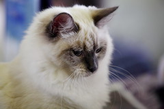 the neva masquerade cat (Сonstantine) Tags: nevamasqueradecat canon catslife cat catsoftheworld catscatscats cute photo pic portrait animals meowmeow meow meowbox
