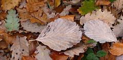 FULLAS DE TARDOR (Joan Biarnés) Tags: elfar laselva girona catalunya tardor otoño 350 panasonicfz1000