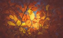 Autumn glow (Dhina A) Tags: sony a7rii ilce7rm2 a7r2 a7r kaleinar mc 100mm f28 kaleinar100mmf28 5n m42 nikonf russian ussr soviet 6blades manualfocus bokeh lens autumn glow yellow gold leaves
