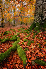 Autumn Woodland (Pete Rowbottom, Wigan, UK) Tags: autumn autumncolours tree roots grass moss leaves colour color fall yellow red wet lakedistrict woodland woods landscape photography peterowbottom nikond850 fotopro nisi lines cumbria england esthwaite damp britain thelakedistrict lowperspective texture delicate nature beauty pov
