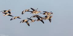 They Keep Coming (Steve (Hooky) Waddingham) Tags: animasl bird nature coast wild wildlife flight grey goose ngc