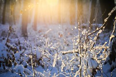 warmth in the -8℃ forest (Yuki (8-ballmabelleamie)) Tags: snow neige ice icy woods grove forest ground trees twigs sprays subzero sunlight sunrise coldness winter illinois lowposition 雪 氷 林