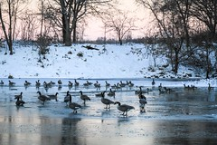 Canada geese (Yuki (8-ballmabelleamie)) Tags: canadagoose canadiangoose brantacanadensis birds animals pond river creek woods snow frozen freezing daybreak dawn winter illinois horizonangle 加拿大雁 鴨 雁 氷