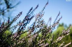 Calluna vulgaris (Mauro Hilário) Tags: common heather calluna vulgaris plant flora pink green portugal nature beautiful dof depth field fall autumn light flowers