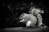 Squirrel 19-11-19 (4)