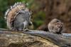 Squirrel & Rat 19-11-19 (36)