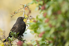 Blackbird (Benjamin Joseph Andrew) Tags: one lone single individual thrush passerine songbird perching autumn berries berry food fruit