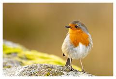 Robin (Michael Long Landscaper) Tags: canon canoneosr canonuk gitzo benro natural nature naturallight scotland visitscotland scottishhighlands scottish wildlife robin bird robinredbreast feathers ukwildlife ef70300f456lisusm