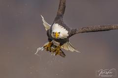 In your Face! (ThruKurtsLens.com) Tags: 2019 baldeagle eagle fall flying greatblueheron kurtwecker naturephotographer nikon tacksharp thrukurtslenscom wildlifephotographer winter