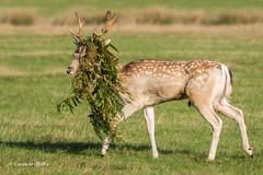 Incognito 502_2286.jpg (Mobile Lynn) Tags: nature fallowdeer deer landmammals damadama fauna mammal mammals wildlife richmond england unitedkingdom coth specanimal ngc coth5 npc