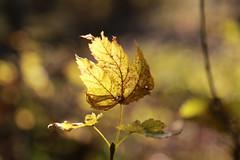 Automne // Autumn (erichudson78) Tags: france iledefrance yvelines forêtdesaintgermainenlaye forêt forest automne autumn feuille leaf bokeh jaune yellow nature novembre november tree arbre monochrome