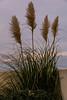 Pampas Grass, Kirkcaldy Esplanade
