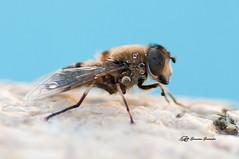 Recién salida del baño (Geno G.) Tags: mosca insect macro macrofotografía nikond90 tamron90mm naturaleza nature explorer agua gotas campo macroworld world colores blue españa