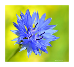 Blue cornflower (Graham Pym On/Off) Tags: blue nikon d7100 devon flora flower petals pollen stigma sunlit sigma105mm fantasticnature coth5 alittlebeauty