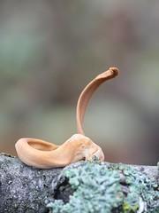 Hoikkanuijakas - Macrotyphula fistulosa - Pipe club fungus (Henri Koskinen) Tags: hoikkanuijakas macrotyphula fistulosa pipe club fungus nuijakas contorta mushroom sieni