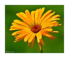 Sunshine orange (Graham Pym On/Off) Tags: flora flower nikon d7100 devon sigma105mm stigma stamen petals pollen ngc npc coth5 alittlebeauty coth