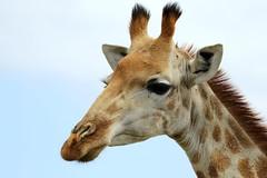 Giraffe-7D2_7434-001 (cherrytree54) Tags: canon7dmkii sigma 150600 kariega game reserve port elizabeth south africa giraffe