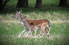 Deer (littlestschnauzer) Tags: wildlife farm animals deer does 2019 autumn running fields countryside rural yorkshire uk pair two national trust wentworth castle gardens south