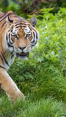Siberian tigress walking by (Tambako the Jaguar) Tags: tiger big wild cat siberian amur female tigress walking pacing portait face grass paw looking vienna zoo austria nikon d5