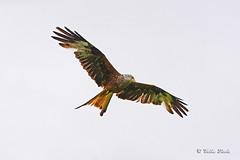 Red Kite (Mike Slade.) Tags: wales bird carmarthenshire national raptor brecon beacons bop redkite milvusmilvus llanddeusant llangadog park © mike nikon slade