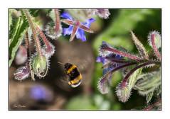 Le bourdon et la bourrache (Rémi Marchand) Tags: insecte bourdon bourrache nature bombus canoneos5dmarkiii canon canonef100mmf28l bourdonenvol