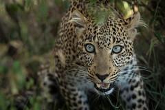 blue eyes (renatecamin) Tags: kenia leopard kenya afrika africa wildlife cat