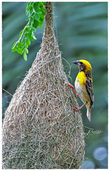 """""""Build your own dreams, or someone else will hire you to build theirs."""" (Ramalakshmi Rajan) Tags: nikon nikond750 nikkor70300mm bayaweaver weaverbirds weaverbird weaverbirdnest birds bird inmygarden quotes nature fromarchive"""