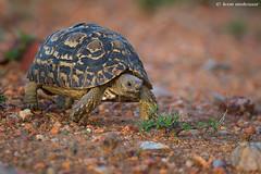 Leopard Tortoise (leendert3) Tags: leonmolenaar southafrica krugernationalpark wildlife wilderness wildanimal nature naturereserve naturalhabitat reptiles leopardtortoise ngc npc