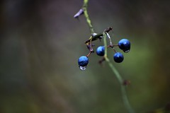 Berries In The Woods (filmcrazy1014) Tags: nikon nature wildlife outdoor magical creative abstract macro blur blurbackground bokeh green blue berries branch tree water waterdroplet reflection whimsical colorful color plant plants woods blueberries