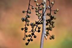 Branch (filmcrazy1014) Tags: nikon nature wildlife outdoor plants plant tree treebranch woods forest berries orange fall green brown whimsical magical macro blur blurbackground