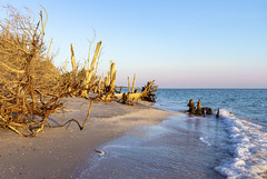 What the Waves Reveal at Sunset (SteveFrazierPhotography.com) Tags: stumppassbeach statepark sunset sand shoreline shore gulfofmexico gulfcoast charlottecounty florida fl coastline coast beach logs deadtrees stumps roots invasivespecies may 2016 lateafternoon evening shadows waves stevefrazierphotography canoneos60d water color beautiful scene scenery waterscape landscape brush shells seashells afternoon horizon clouds seaguls flying birds
