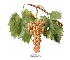 Trebbiamo (Sparkling Wines of Puglia) Tags: uva grappolo uvatrebbiano trebbiano ampelografia illustrated illustraciones illustrazioni illustrations illustration antico ancien