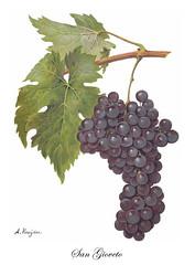 Sangiovese (Sparkling Wines of Puglia) Tags: uva grappolo uvasangiovese sangiovese ampelografia illustrated illustraciones illustrazioni illustrations illustration antico ancien