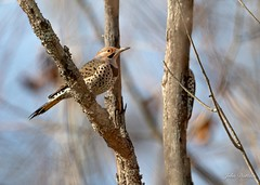 Bigfoot has nothing on this Northern Flicker when it comes to hide-and-seek! (flintframer) Tags: muscatatuck national wildlife refuge seymour indiana usa northern flicker hiding birds nature wow dattilo canon eos 7d markii ef600mm