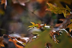 Through The Trees (filmcrazy1014) Tags: nikon nature wildlife outdoor leaves colorful colofulleaves fallcolors magical blur blurbackground whimsical woods forest bokeh green blue yellow orange black brown brightcolors