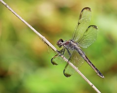 Tightrope Walker. (billjackson.images) Tags: umstead state park raleigh north carolina nc dragonfly insect
