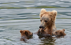 Momma Bear Teaching Her Cubs About Eating Salmon - 5893b+ (PhotoJenics by Jen Hall) Tags: brown bear brownbear brownbearcubs brownbearcub cub cubs swimming eating salmon teaching sowandcub jenniferhall jenhall jenhallphotography jenhallwildlifephotography wildlifephotography wildlife nature naturephotography photography wild nikon alaska photojenicsphotography jenonsa bears katmai katmaibears coy