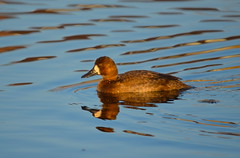 Lesser Scaup in Morning Sunlight (Neal D) Tags: bc abbotsford milllake bird duck scaup lesserscaup aythyaaffinis
