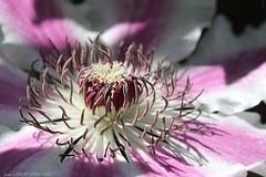 Clematis (LLD photographie) Tags: fleur clématis clématite coeurdefleur nature botanique jardin
