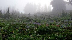 Early Morning Wildflowers (shesnuckinfuts) Tags: mtrainiernationalpark wildflowers hiking shesnuckinfuts august2019 nature flowers fog dawn
