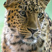 Leopard with damaged ear