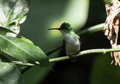 015A5702 Andean Emerald (suebmtl) Tags: bird hummingbird andeanemerald amaziliafranciae mindo ecuador pichinchaprovince
