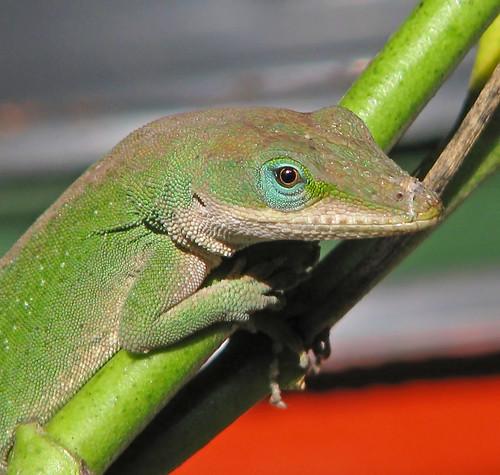 Green anole - posing