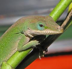 Green anole - posing (Vicki's Nature) Tags: greenanole lizard male green blueeyes milkweed yard georgia vickisnature canon s5 4157 macro return returnbestdamn