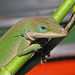 Green anole - posing